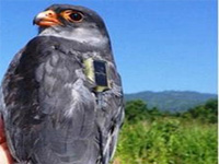 Nagaland turning into 'Falcon capital' for conservation