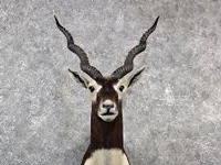 Jaswantgarh blackbuck project gets go-ahead
