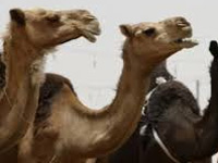 Pasteurella bacteria taking toll on camels