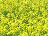 GM mustard policy: SC gives govt. time