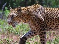 A first in world: Rajasthan to get leopard reserves