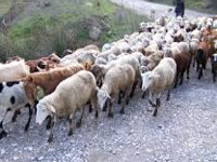 Goat and sheep population in State at 33.91 lakh