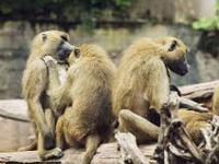 Stop culling of monkeys and nilgais, SC urged
