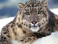 India too in global effort to save snow leopard habitat