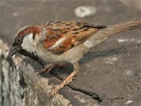 Sparrow data a far cry in India