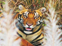 Centre rejects Rajasthan govt's proposal to translocate male tiger from Ranthambore