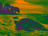 Climate change: Male sea turtles disappearing