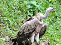 Tamil Nadu govt. bans Ketoprofen to save vultures