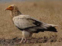 60% habitat of Egyptian vulture to be submerged in Ken Betwa project