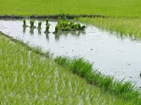 Global warming may have 'devastating' effects on rice