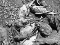 1,570 birds perish in heavy rain