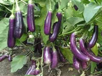 Government stares at Bt brinjal moment before taking call on GM mustard