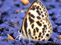 Over 100 butterfly species sighted at Pachamalai