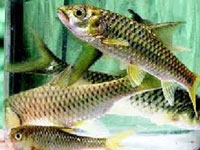 A first: Himachal breeds mahseer fish in hatchery