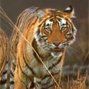 Monitoring system for tigers  Intensive protection & ecological status