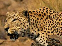 Pilot project on leopard-human conflict mitigation starts in Pauri and Tehri