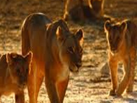Bonding period raises hope of rise in lion population at Etawah safari