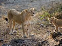 Home stay policy at Gir to be reviewed
