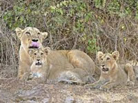 After Sasan, second lion safari coming up at Girnar