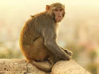 Monkeys declared vermin in Himachal to allow culling
