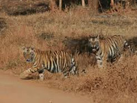 Stress takes a toll on tigers in Sariska