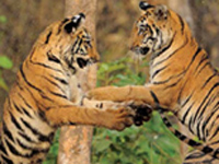 Tigress translocated to Satpura tiger reserve from Kanha