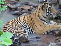 Panna fulfilled my dream to shoot a tiger with its reflection in water