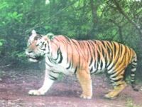 Raj fails to ensure genetic diversity of tigers at Mukundra: NTCA to HC