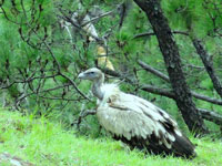 New nest? Himalayan vultures found in Chambal